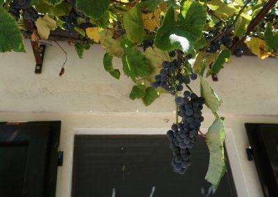 de druivenranken bij appartement Pietro