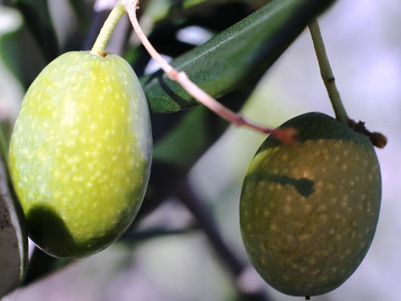 Adopteer een olijfboom 24-05-2020